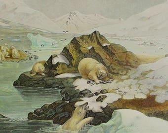 """1881 Polar Bears, """"Ours Blancs"""". Antique Lithograph. Colorful, Original Natural History Print. Lackerbauer, La Monde de la Mer"""
