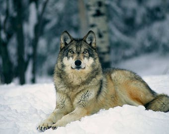 Gorgeous wolf laying in the snow 8X10 PRINT Wolf in Nature