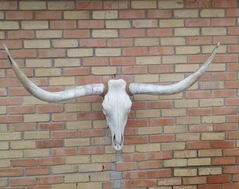 STEER Cow Skull with horns 4ft 2 #2