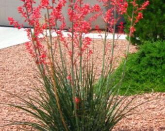 Red Yucca - Hesperaloe parviflora