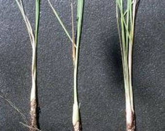 Lemongrass SEEDS Mosquito Repelling Lemon Grass Plant Heirloom Herb