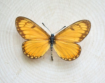 1 REAL Butterfly - Spread and Preserved in a Shadowbox - Nature Taxidermy Entomology Curiosities Insect Charm