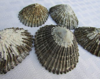 Hawaiian Opihi Shells / Limpet Shells / For Hawaiian Jewelry and Nautical Crafts / Beach Decor