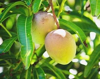 Mango Leaf for Tea - Organic Caribbean Untreated Leaves