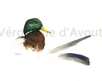 Original watercolor mallard duck and his feathers