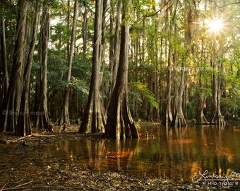 "Cypress Tree Photo | ""Cypress Forest View"" | Texas Wall Art - Louisiana Swamp Photo Art - Caddo Lake Photo - Flooded Cypress Bayou Print"