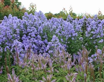 25 Seeds Campanula lactiflora ,Blue Cross Seeds,  Milky Bellflower Plant Seeds