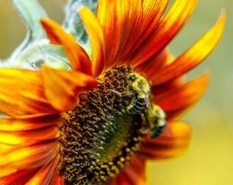 Sunflower Photography, Sunflower Photograph, Photo of a Sunflower, Flower Photography, Bee Photo, Nature Photography, Sunflower Decor