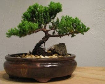 Peace Bonsai love tree