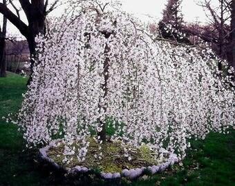 1 Weeping Cherry Tree - ( prunus x yeodensis shidare yoshino )