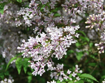 Delicate Lilac, May flowers, English countryside, photo print, Photography, Picturesque print, England,