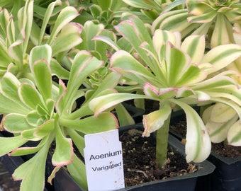 Aeonium Variegated (4in Succulent)