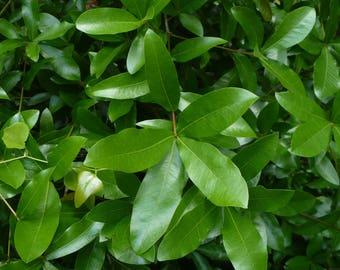 Laurel Oak   Acorns   Quercus laurifolia   50 seeds
