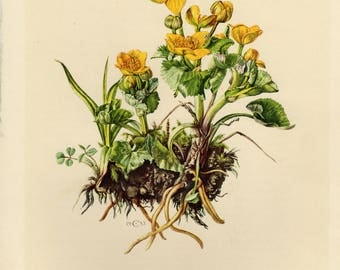 Vintage lithograph of the marsh-marigold or kingcup from 1953