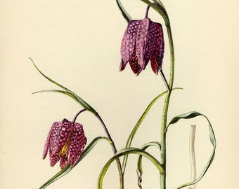 Vintage lithograph of the snake's head fritillary, snake's head, fritillary, chess flower, frog-cup, guinea flower or leper lily from 1954