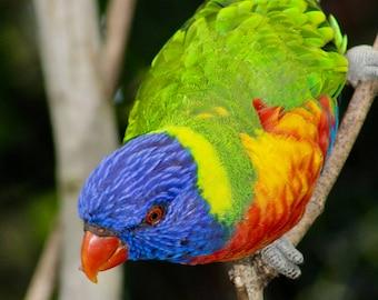 lorikeet/photography/canvas/prints/gift card/bird photography/parrot
