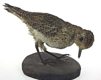 Taxidermy - naturalized bird thrush priceless to ask