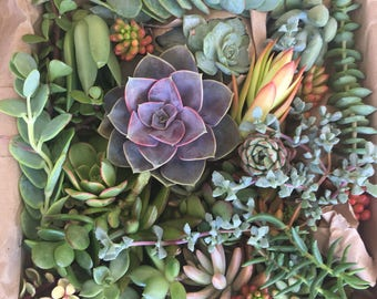 50 succulent cuttings for wedding centerpieces, boutonnieres, bouquet, head pieces, chairs, etc