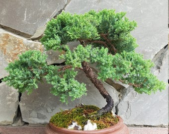 Procumbens Juniper Bonsai