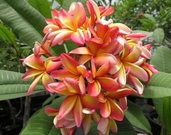 Plumeria - 5 seeds (frangipani)