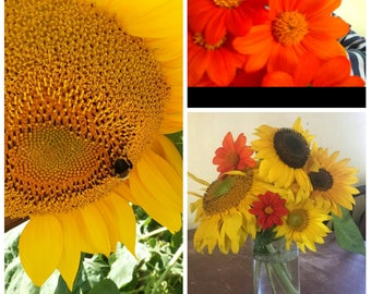Sunflower Variety Pack 20 Giant Mammoth Sunflower Seeds & 20 Mexican Torch Seeds