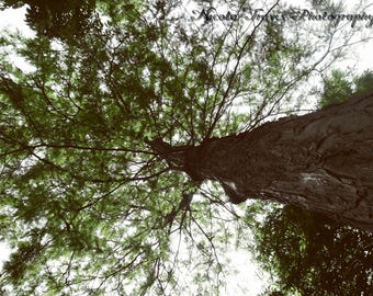 Tree Downloadable Photograph