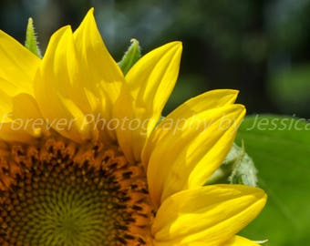 Sunflower Canvas Art - Gallery Wrapped