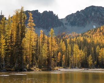 Golden Larch Trees in Washington |  Pacific Northwest Photography | Print | Metal, Canvas, or Lustre
