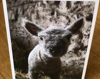 Southdown Lamb 2