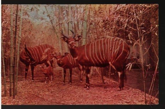 Bongo Display - Chicago Natural History Museum - Vintage Photo Souvenir Postcard
