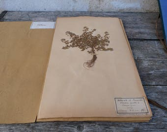 Antique-1887-1889-French-herbarium  Veronica agrestis