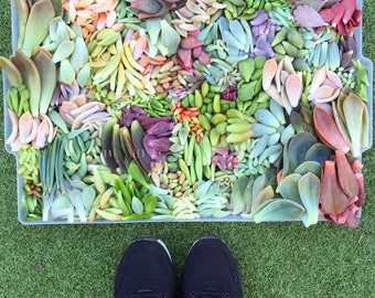 DIY Succulent leaves cutting arrangement display exotic collector wedding bouquet bride bridesmaid groom groomsman favour gift Australia