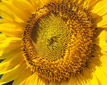 Sunflower Detail-8x10-Color Fine Art Photo-Certificate of Authenticity-Signed by Artist