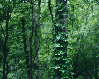 A Tree Grows in the Woods - Fine Art Photograph, Fall, Nature Photography, Wall Art
