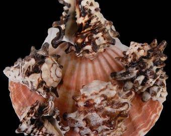 """3--Vasum Murerx Seashells  1.5"""" to 2""""--Hermit crabs-aquariums-terrariums-crafting"""