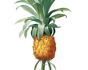 Pineapple Tropical Fruit Food Plant - Digital Image - Vintage Art Illustration - Instant Download