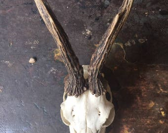Roe Deer Skull with Teeth