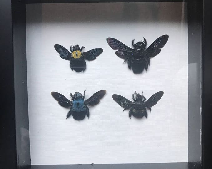 Real taxidermy bee collection!