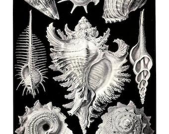 Ernst Haeckel's Vintage Artwork Prosobranchia