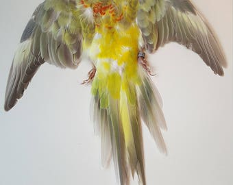 Real taxidermy dried skin red-rumped parrot