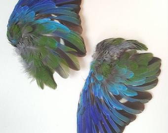Real taxidermy wings splendid parakeet