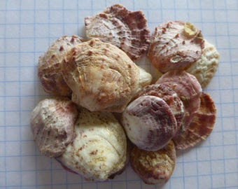 Hawaiian Sea Shore Oyster Shells ~ 20 Assorted Med -Large Shells for Craft and Design