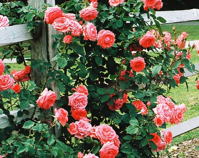 America ™ Rose Bush Fragrant Salmon Pink Flowers Climbing Rose Grown Organic Potted - Own Root Non-GMO SPRING SHIPPING