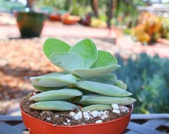 Crassula Toms Pagoda Succulent Plant
