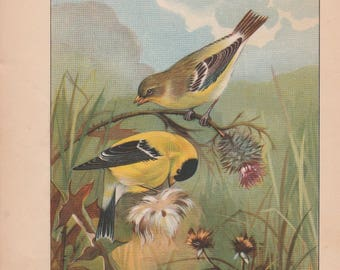 Goldfinch/Sparrow Antique Bird Print 1926 R. E. Todhunter