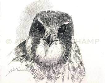 Raptors - Peregrine Falcon head
