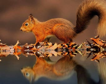 Laminated placemat red squirrel