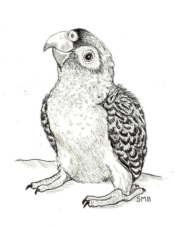 Sally Blanchard Original Pen and Ink Drawing of a baby Jardine's Parrot from the African Poicephalus family
