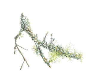 Original Watercolor Painting // Lichen on Conifer Twig from Algonquin Park // Botanical Art // Scientific Illustration