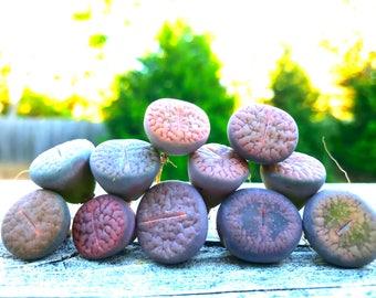Exotic Lithops Plant  / Rare Stone Flower Plant / Medium Lithops Succulent / Lithops Plant with Various Color and Patterns
